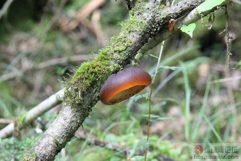 高原森林探宝——可以吃的菌类