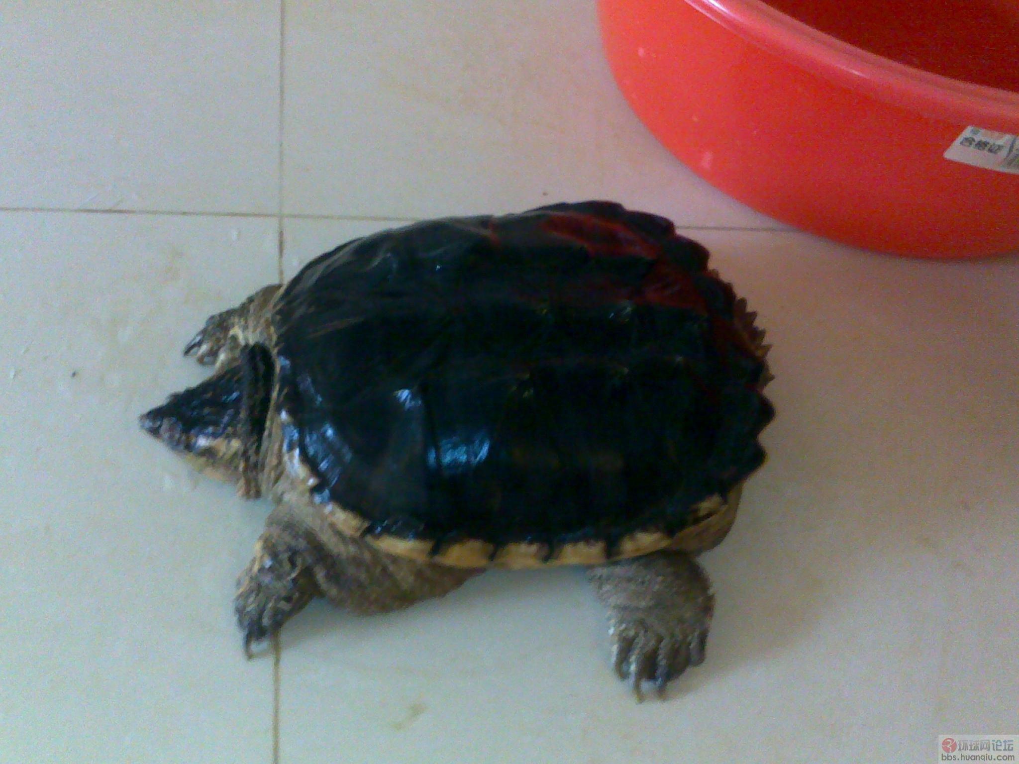 养了只王八乌龟蛋