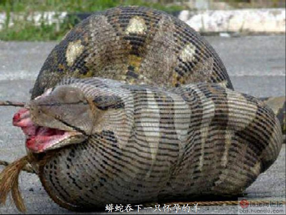 巨型蟒蛇吞男人 巨型蟒蛇吞 巨型蟒蛇竟活吞一村民 巨型 1-蟒蛇图片