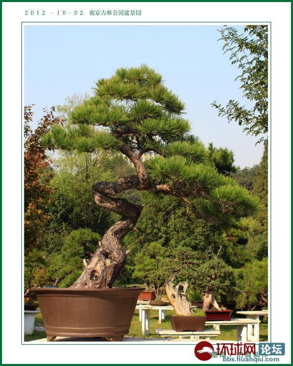 盆景 盆栽 树 松 松树 植物 576_720 竖版 竖屏