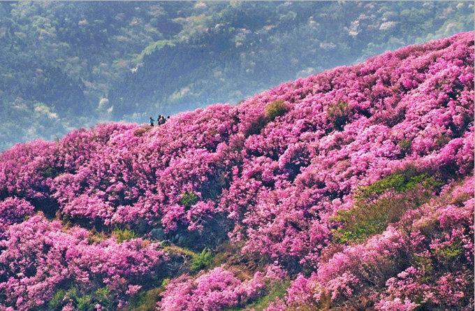 是春天到来的标志,其花语是长久开放的花,韩国人用它来象征长久的繁荣